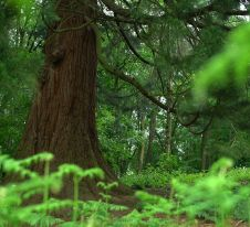 Dans les sous bois de Bruxelles, un Séquoia Géant. Photo - Gwen Breuls..jpg