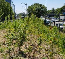 Le long du périphérique parisien, en avril 2018 à la Porte de Montreuil, l'association Boomforest met en œuvre des plantations de type Miyawaki. CC BY-NC-ND.jpg