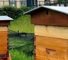 le bas buzz des abeilles en ville.jpg